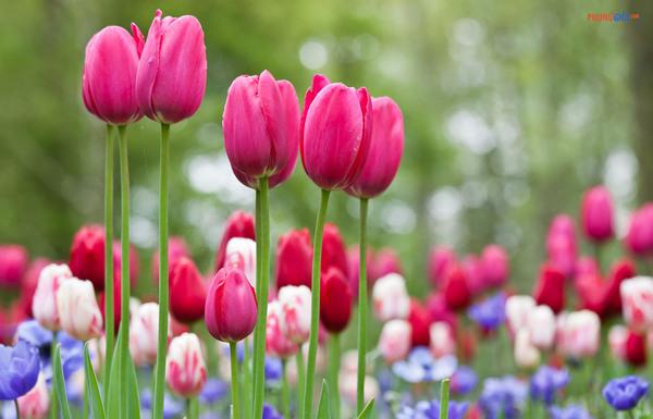 Ý nghĩa hoa Tulip là gì? Nguồn gốc, truyền thuyết loài hoa này